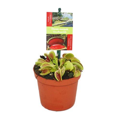 Dionaea muscipula contro le cimici