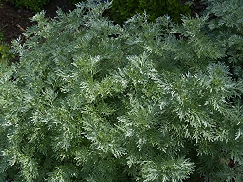 6) Assenzio Maggiore (Arthemisia absinthium)