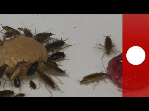 """Gli scarafaggi """"mutanti"""" che rifiutano lo zucchero (e il veleno) - science"""