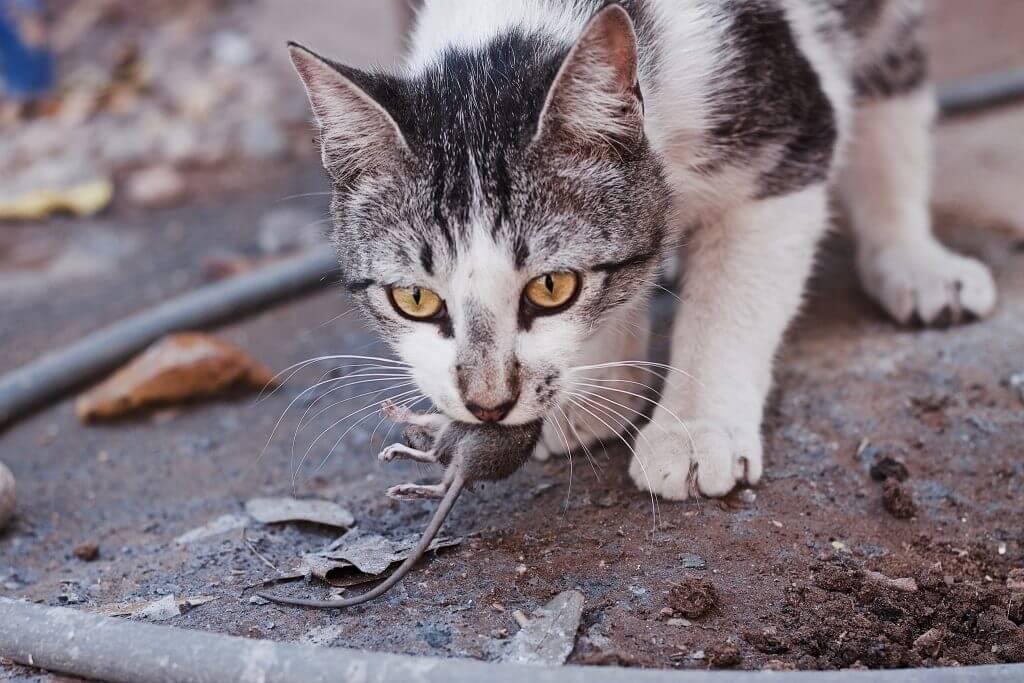 gatto contro topi in giardino