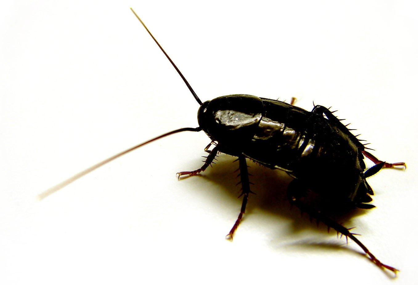 Piccoli Scarafaggi In Cucina blatte e scarafaggi, cause e rimedi | blogworld