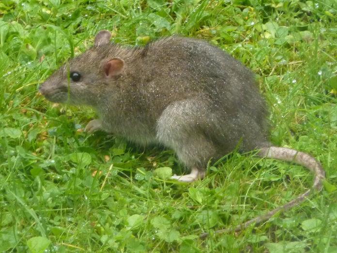 Ratto Marrone