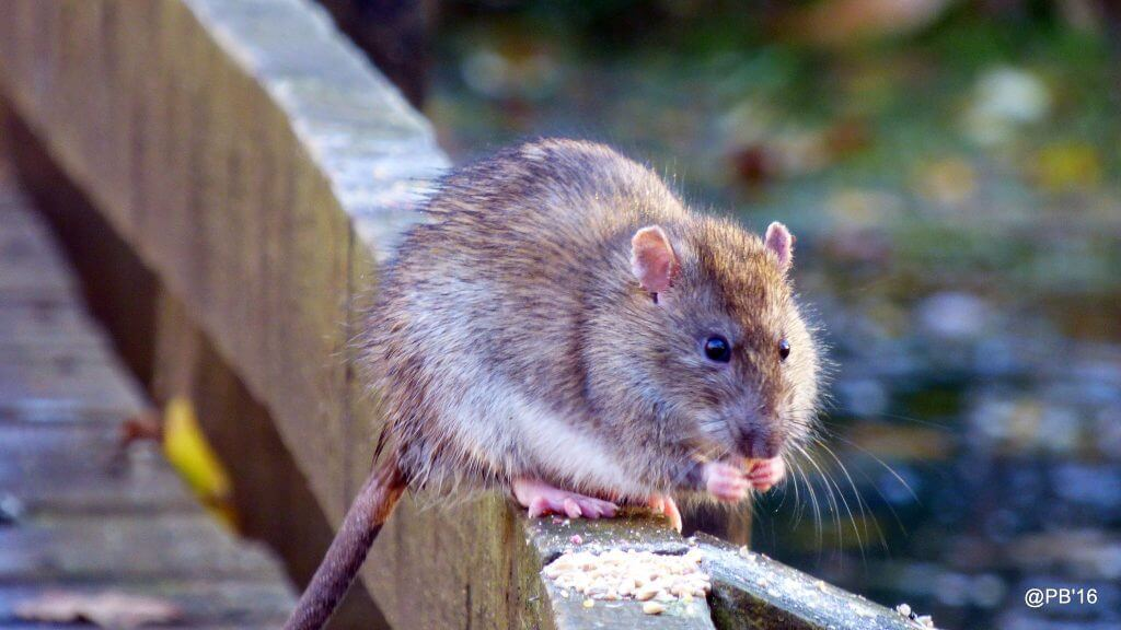 Ratto grigio