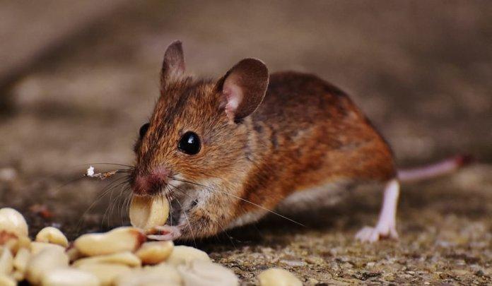 cosa amano i topi