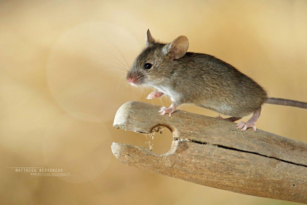 topo comune